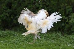 白色的公鸡和在农场的红色战斗 免版税库存照片