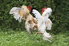 白色的公鸡和在农场的红色战斗 免版税图库摄影