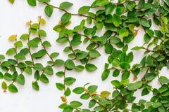 白色的抽象绿色爬行物植物绘了混凝土墙背景 免版税库存图片