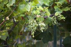 白色的接近的字符串葡萄 免版税库存照片