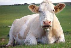 白色的接近的母牛 免版税库存图片