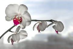 白色的接近的花兰花 免版税库存图片