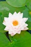 白色的接近的莲花 免版税库存图片
