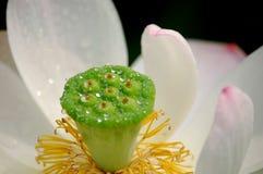 白色的接近的莲花 库存照片