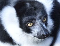 黑白色的狐猴 图库摄影