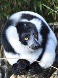 黑白色的狐猴 库存照片