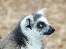 黑白色的狐猴 免版税图库摄影