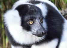 黑白色的狐猴 免版税库存图片