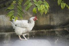 白色的画象在一个后院用羽毛装饰鸡在古巴 免版税库存图片