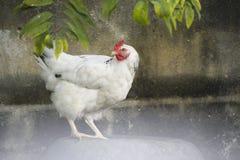 白色的画象在一个后院用羽毛装饰鸡在古巴 免版税图库摄影