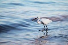 白色的白鹭海岸 库存照片