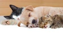 白色的背景接近的半小猫枪口纵向小狗 免版税库存照片