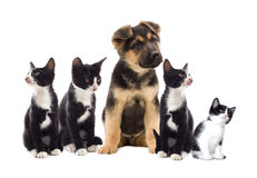白色的背景接近的半小猫枪口纵向小狗 库存图片