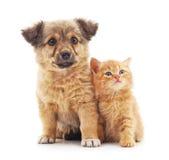 白色的背景接近的半小猫枪口纵向小狗 免版税库存图片