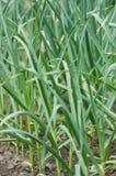 白色的背景接近的大蒜绿色 库存照片