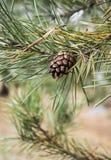 白色的背景接近的锥体查出的杉木 免版税库存照片