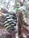 白色的背景接近的锥体查出的杉木 库存图片
