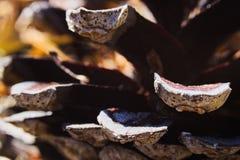 白色的背景接近的锥体查出的杉木 图库摄影