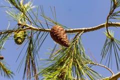 白色的背景接近的锥体查出的杉木 免版税库存图片