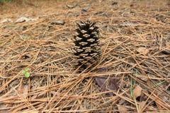 白色的背景接近的锥体查出的杉木 免版税图库摄影