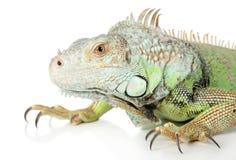 白色的背景接近的鬣鳞蜥纵向 免版税库存照片