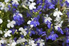 白色的花和在充分的框架的蓝色山梗菜 免版税库存照片