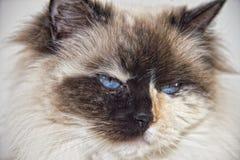 白色的蓝眼睛和黑ragdoll猫 库存照片