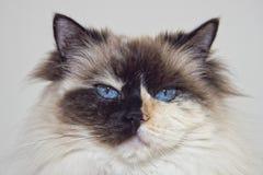 白色的蓝眼睛和黑ragdoll猫 免版税库存照片