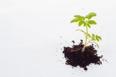 Tomatoe植物 免版税库存照片
