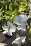 白色盆的植物。 免版税库存照片