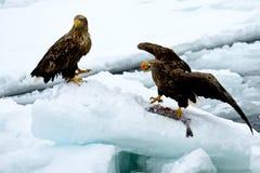 白色盯梢了海鹰 免版税库存照片