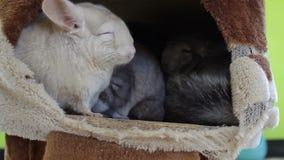白色睡觉在洞穴的黄鼠和小组 股票视频