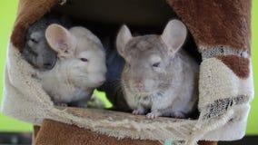 白色睡觉在洞穴的黄鼠和小组 影视素材