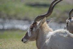 白色瞪羚 库存图片