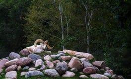白色石山羊坐堆岩石 库存照片