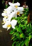 白色石斛兰属兰花在巴厘语手段庭院里 免版税库存图片
