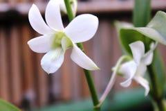 白色石斛兰属花 图库摄影