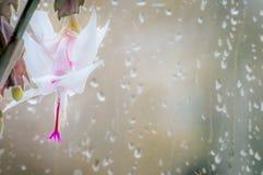 白色石生仙人掌花和11月雨 库存照片
