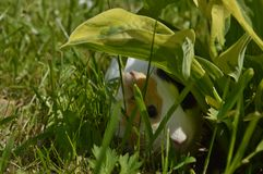 白色砖墙用于designpig坐草在叶子下 免版税库存照片