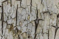 白色破裂的树皮 库存照片