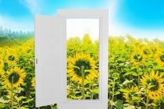 白色窗口空腹架沟有向日葵农厂背景 免版税库存图片