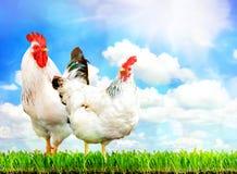 白色站立在绿草的鸡和白色雄鸡 免版税库存照片