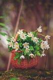 白色第一春天在一个柳条筐开花在森林里 免版税库存图片