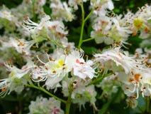 白色精美花卉被弄脏的背景与变粉红色欧洲七叶树污点的黄色的开花特写镜头 免版税库存照片