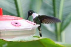 白色红喉刺莺的山宝石蜂鸟 免版税库存照片