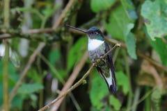 白色红喉刺莺的山宝石蜂鸟 免版税库存图片