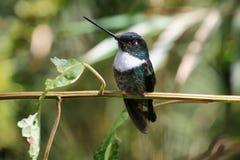 白色红喉刺莺的山宝石蜂鸟 免版税图库摄影