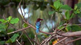 白色红喉刺莺的翠鸟太平smyrnensis坐树枝 影视素材
