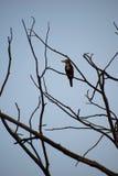 白色红喉刺莺的翠鸟鸟 免版税图库摄影
