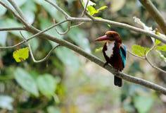 白色红喉刺莺的翠鸟 免版税库存图片